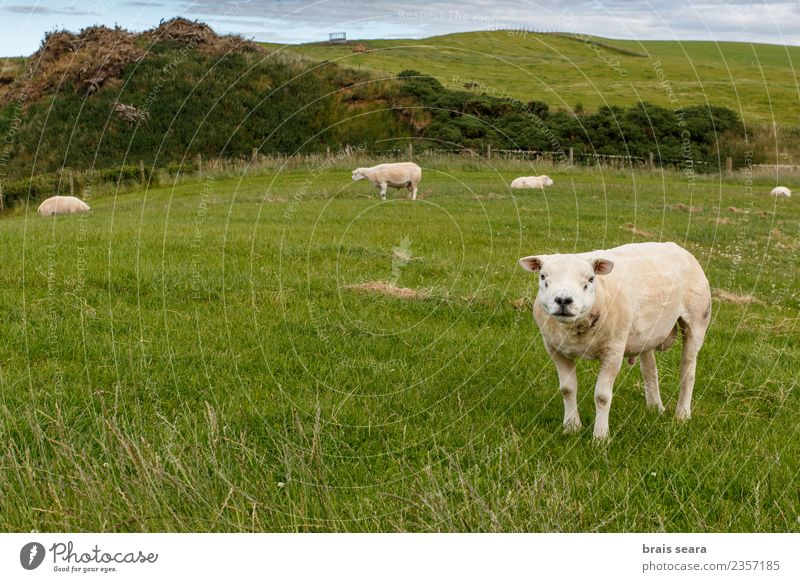 Texel sheep Sky Nature Man Summer Green White Animal Adults Eating Spring Natural Meadow Grass Garden Tourism Field