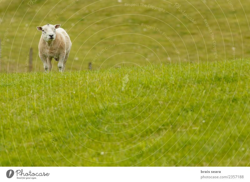 Texel sheep Nature Vacation & Travel Man Summer Green Landscape White Relaxation House (Residential Structure) Animal Mountain Adults Eating Environment Spring