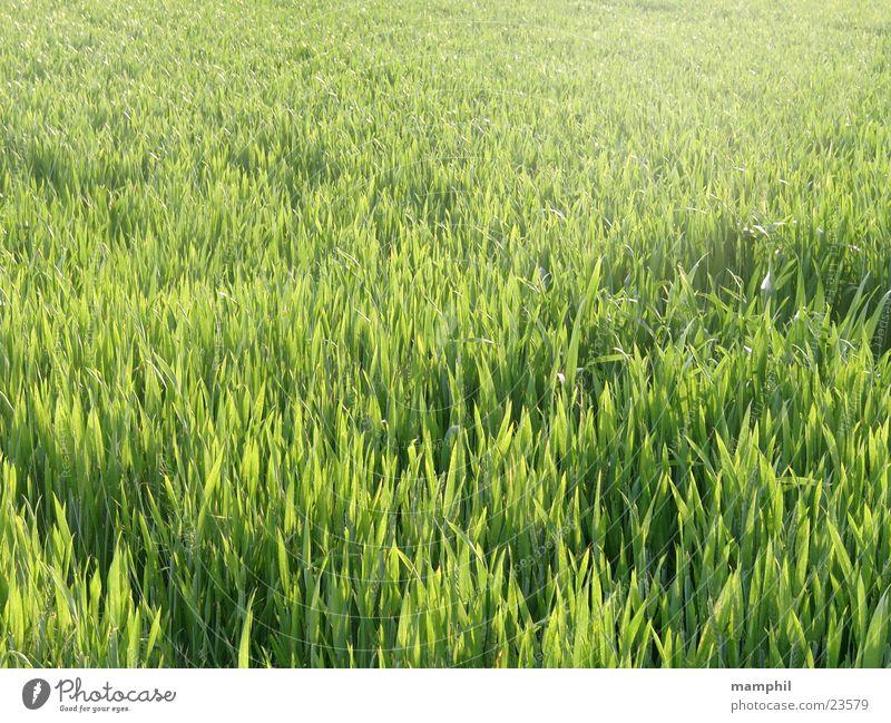 Green cornfield Cornfield Grass Agriculture Back-light X