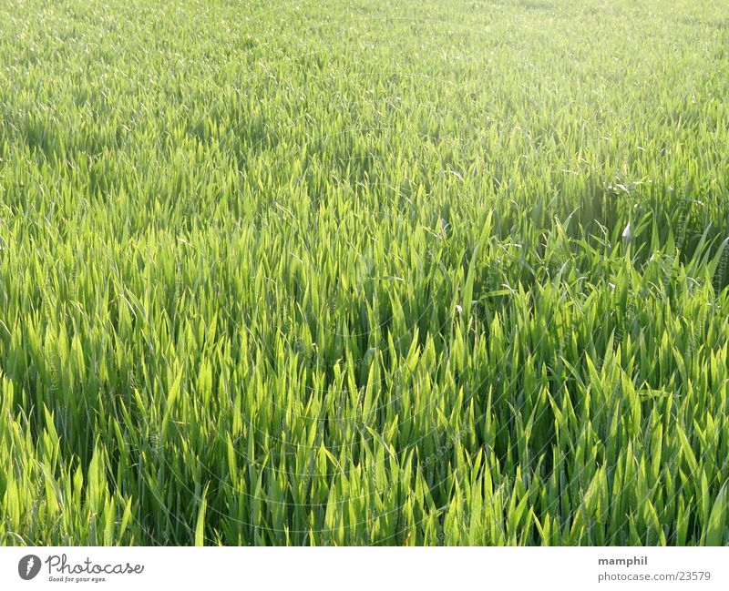 Green Grass Agriculture Cornfield