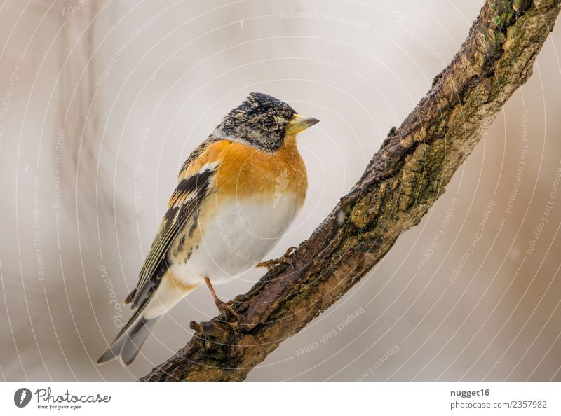 Mountain Finch on a Branch Environment Nature Animal Spring Autumn Winter Climate Beautiful weather Ice Frost Snowfall Plant Tree Garden Park Forest Wild animal