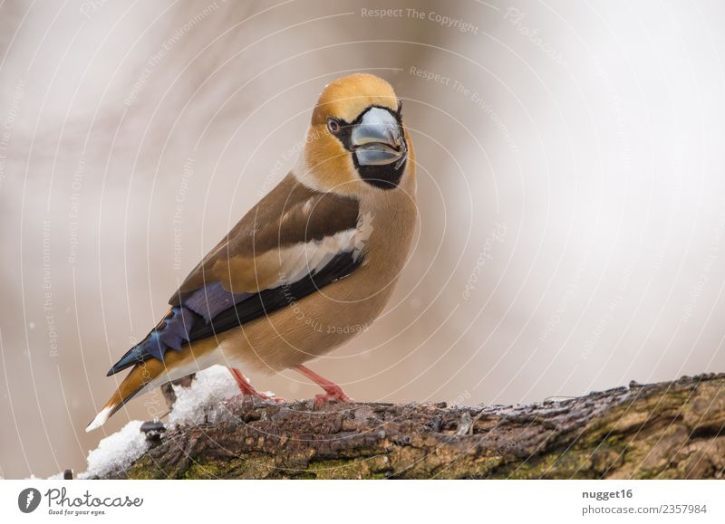 hawfinch Environment Nature Animal Spring Autumn Winter Climate Weather Ice Frost Snow Snowfall Plant Tree Branch Garden Park Forest Wild animal Bird