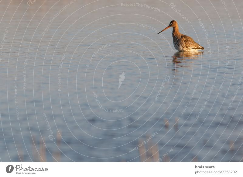 Black-Tailed Godwit Nature Green Water Landscape Animal Winter Environment Funny Natural Meadow Coast Lake Bird Wild Field