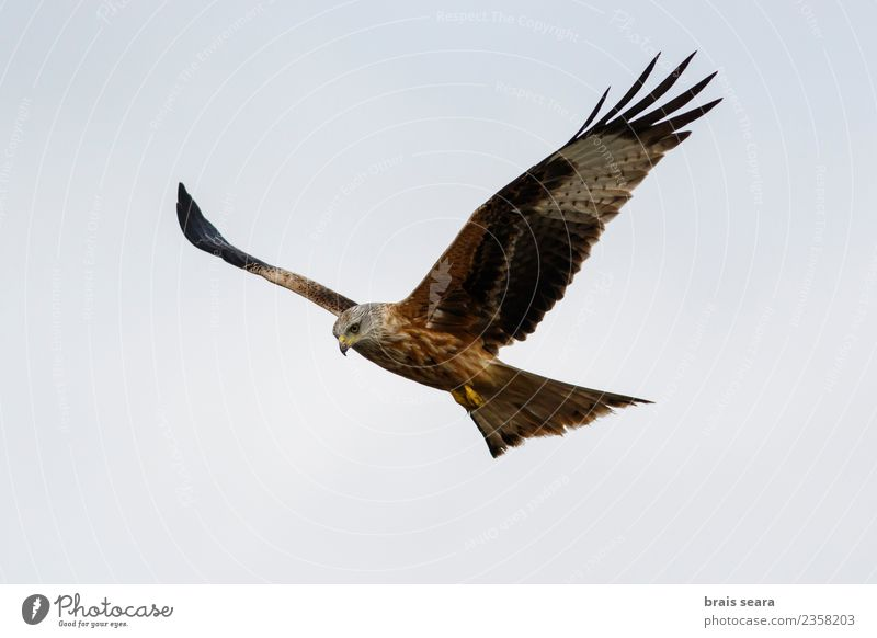 Red Kite Beautiful Freedom Summer Nature Animal Air Sky Cloudless sky Field Wild animal Bird Wing 1 Flying Elegant Natural Blue Brown Green Black Colour kite