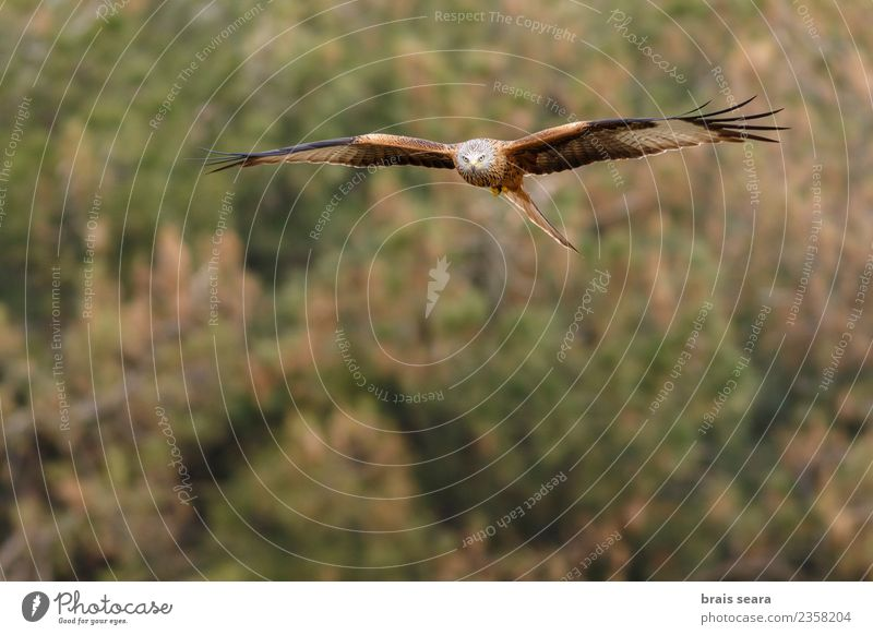 Red Kite Beautiful Freedom Summer Environment Nature Animal Air Sky Sun Autumn Winter Tree Grass Field Forest Wild animal Bird Wing 1 Flying Natural Blue Brown