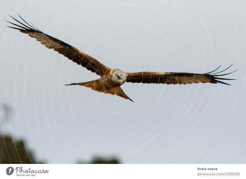 Red Kite Sky Nature Blue Summer Beautiful Colour Green Animal Black Natural Movement Freedom Brown Bird Flying