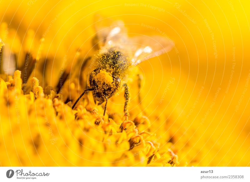 Macro honey bee collects yellow pollen on head in sunflower Body Hair and hairstyles Summer Environment Nature Plant Animal Sun Spring Climate Climate change