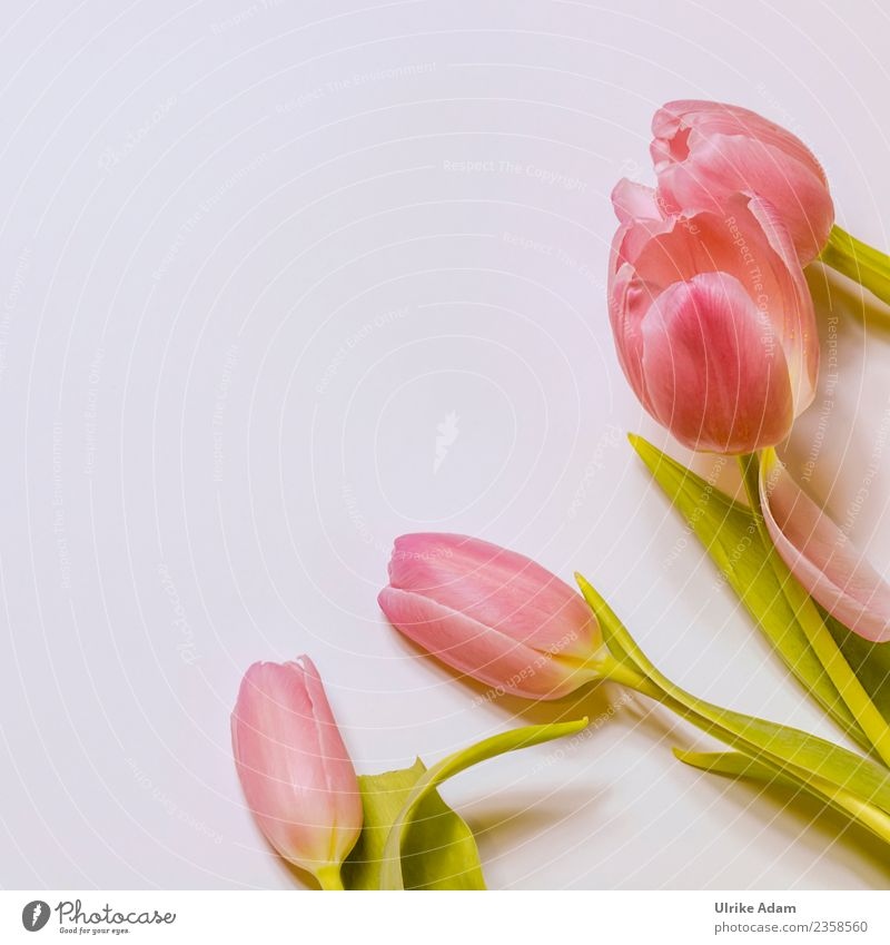 Pink square tulips Design Wellness Life Harmonious Well-being Contentment Relaxation Calm Meditation Spa Easter card Card Background picture Pattern