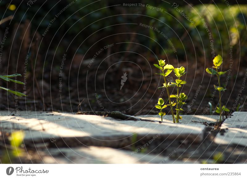 morning mood Nature Plant Leaf Wild plant Small Green Deserted Stone slab Growth Sunlight Colour photo Exterior shot Copy Space left Morning Shadow