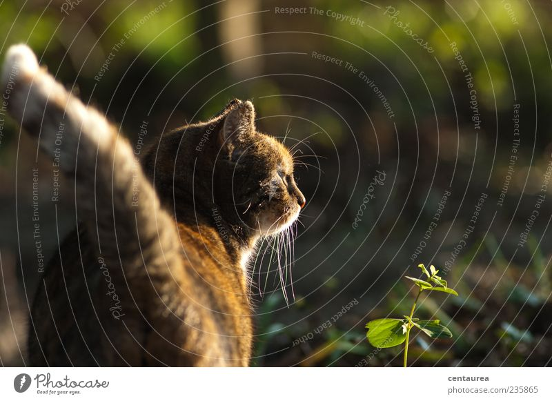 In the morning in the garden Animal Pet Cat Animal face Paw 1 Stand Wait Brown Green Serene Calm Colour photo Exterior shot Copy Space right Morning Prowl