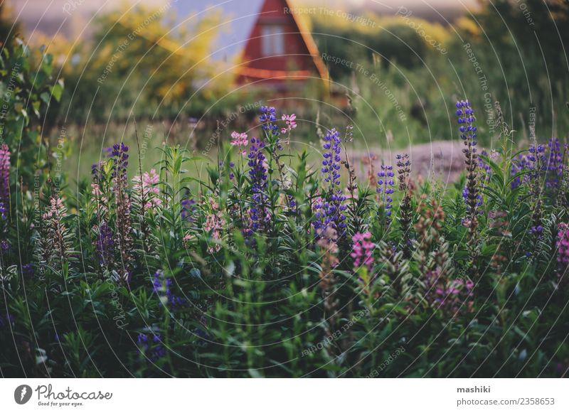 summer countryside view with lupin flowers Nature Landscape Sunrise Sunset Summer Flower Field Relaxation Vacation & Travel Freedom Peace Country life Farm