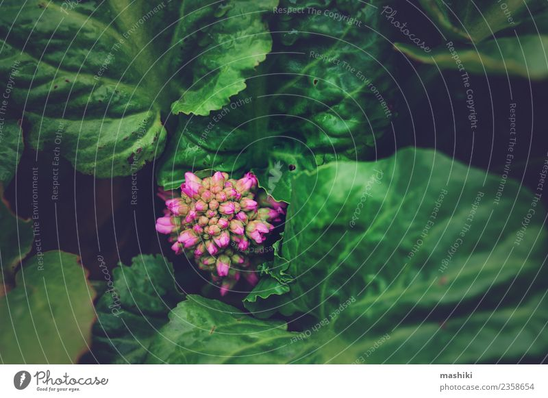 Bergenia crassifolia close up Leisure and hobbies Garden Nature Plant Flower Leaf Glittering Growth Fresh Wet Natural Green saxifrage spring Sprout earth