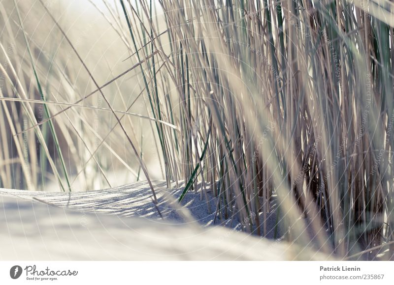 Nature Plant Beach Environment Grass Coast Sand Bright North Sea Beach dune Dune Marram grass Perspective Structures and shapes