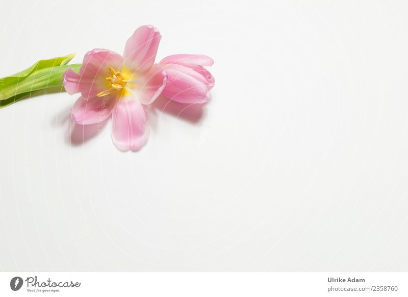 Nature Plant Flower Relaxation Calm Life Background picture Blossom Spring Pink Design Contentment Elegant Birthday Wedding Easter