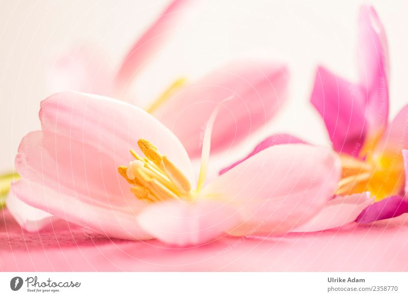 Wellness with pink tulip flowers Elegant Design Beautiful Life Harmonious Well-being Relaxation Meditation Spa Massage Card Background picture Pattern