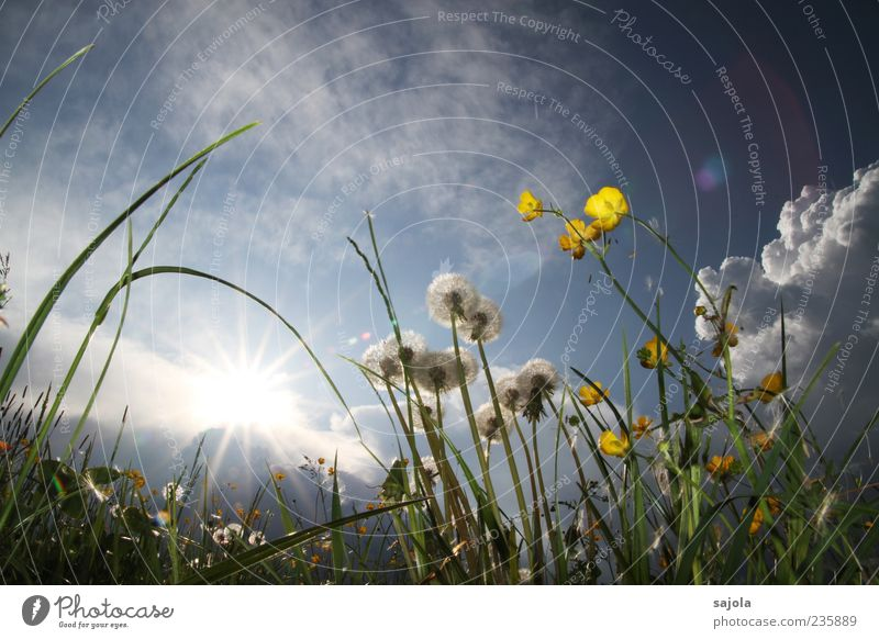 Sky Nature Blue Plant Sun Flower Yellow Environment Meadow Spring Esthetic Illuminate Blossoming Dandelion Skyward Crowfoot