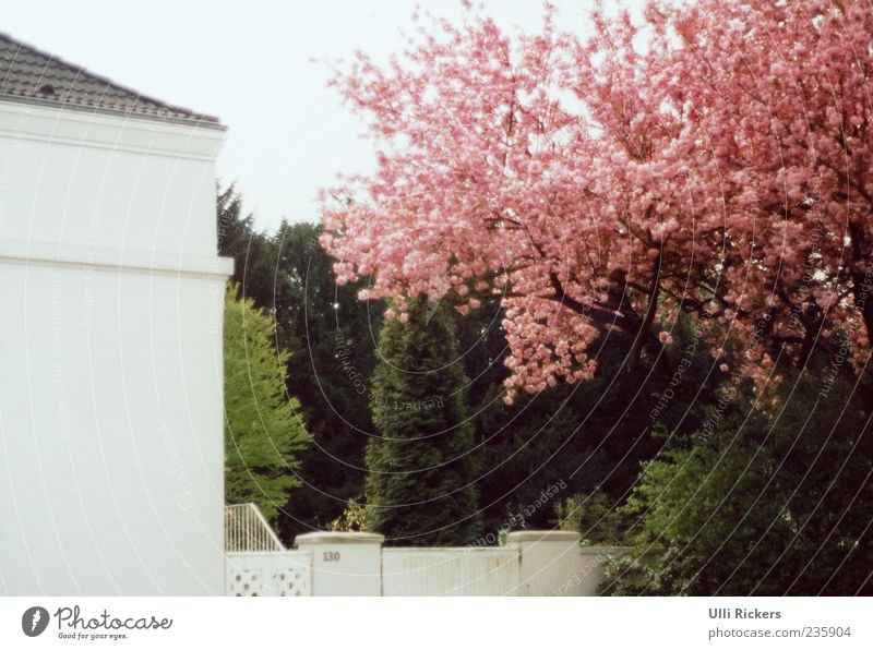 In spring Garden Spring Beautiful weather Tree Wall (barrier) Wall (building) Door Living or residing Fragrance Green Pink White Colour photo Exterior shot