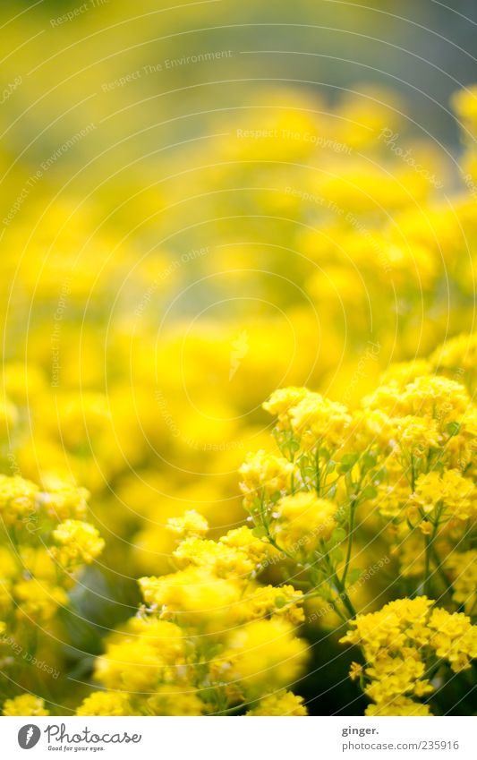 A quarter of a thousand - motivation Nature Plant Spring Flower Blossom Beautiful Yellow Many Deserted Blur Copy Space Blossoming Colour photo Exterior shot