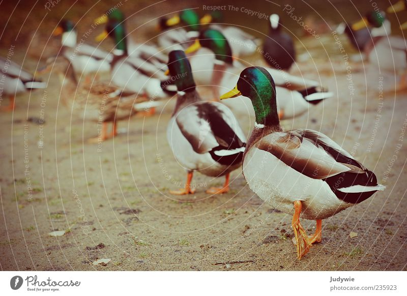 Nature Animal Colour Environment Movement Bird Going Wild animal Walking Group of animals Feather Duck Drake Mallard