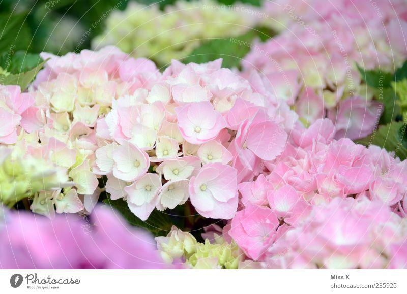 Nature Plant Summer Flower Spring Blossom Pink Delicate Blossoming Fragrance Blossom leave Hydrangea Garden plants Hydrangea blossom