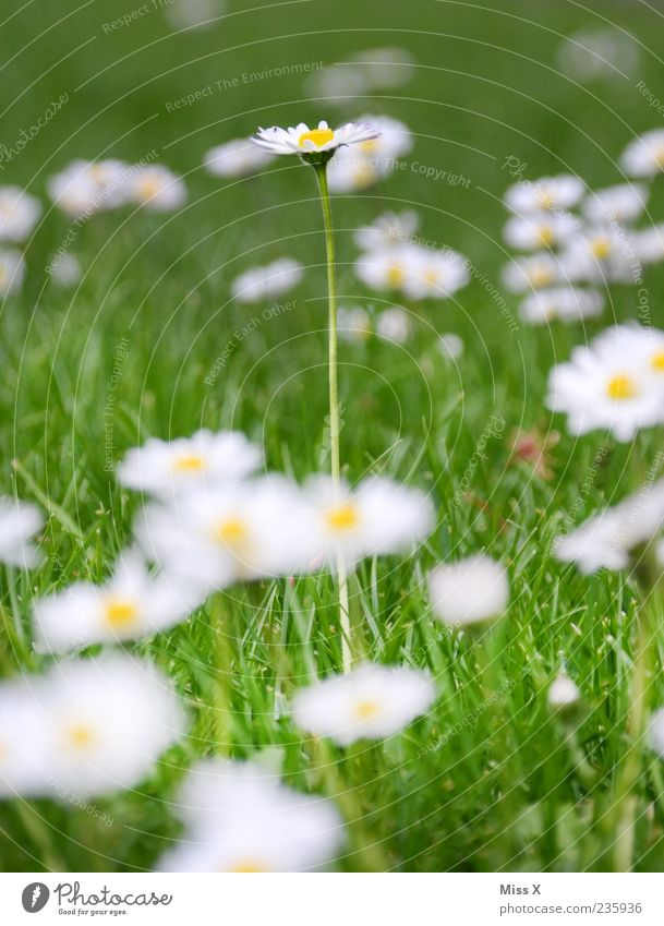 a long daisy Nature Plant Spring Summer Flower Grass Leaf Blossom Meadow Blossoming Growth Large Long Green White Daisy Colour photo Multicoloured Exterior shot