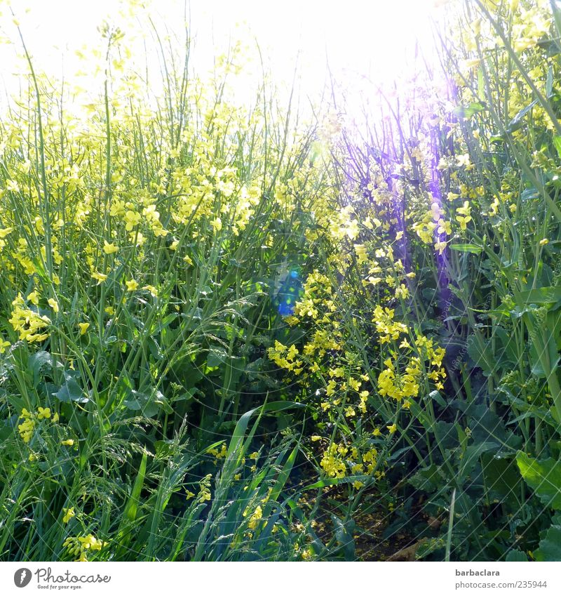 Sun in rape Spring Flower Agricultural crop Canola Field Blossoming Illuminate Growth Bright Natural Wild Yellow Green Nature Colour photo Exterior shot Day