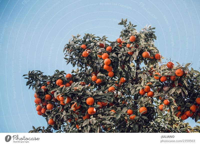 orange tree in spring Summer Fresh Fruit green tree with fresh oranges in summer Nature Organic Vacation & Travel Tree