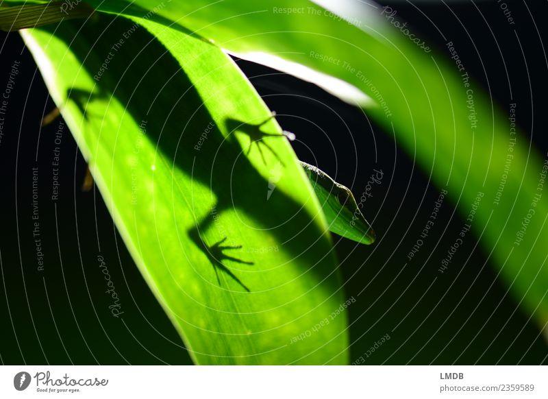 *Gecko *Ganz *Green Animal Wild animal Zoo 1 Black Reptiles Lizards Animal foot Leaf Foliage plant Animal portrait Silhouette Under Dark Bilious green