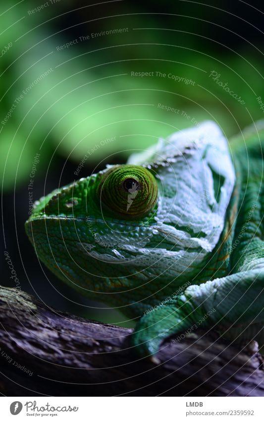 change Environment Nature Animal Pet Wild animal 1 Green Flexible Transience Change Terrarium Chameleon Molt Eliminate Exterior shot Reptiles Facial expression