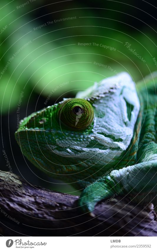 Nature Green Animal Environment Wild animal Transience Change Mask Pet Exotic Facial expression Flexible Reptiles Scales New start Chameleon