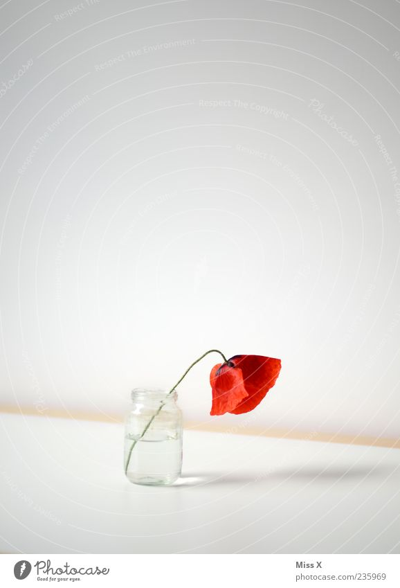 White Red Flower Loneliness Blossom Sadness Bright Table Decoration Grief Simple Blossoming Poppy Fragrance Limp Vase