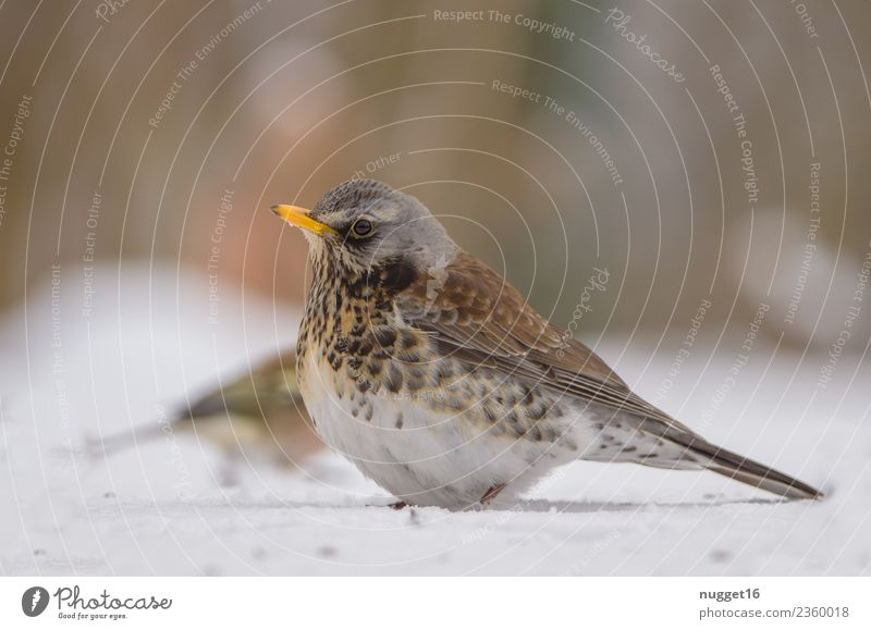 Juniper Thrush in the snow Environment Nature Animal Spring Autumn Winter Climate Weather Beautiful weather Ice Frost Snow Snowfall Garden Park Meadow Field