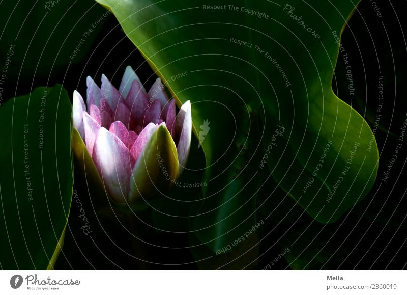 Nature Plant Beautiful Flower Leaf Environment Blossom Natural Lake Moody Growth Esthetic Blossoming Transience Pond Water lily