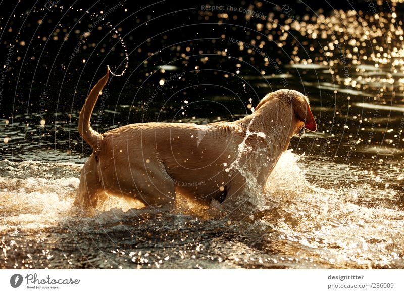 Dog Water Joy Animal Playing Happy Jump Lake Waves Swimming & Bathing Wild Gold Drops of water Happiness River Joie de vivre (Vitality)