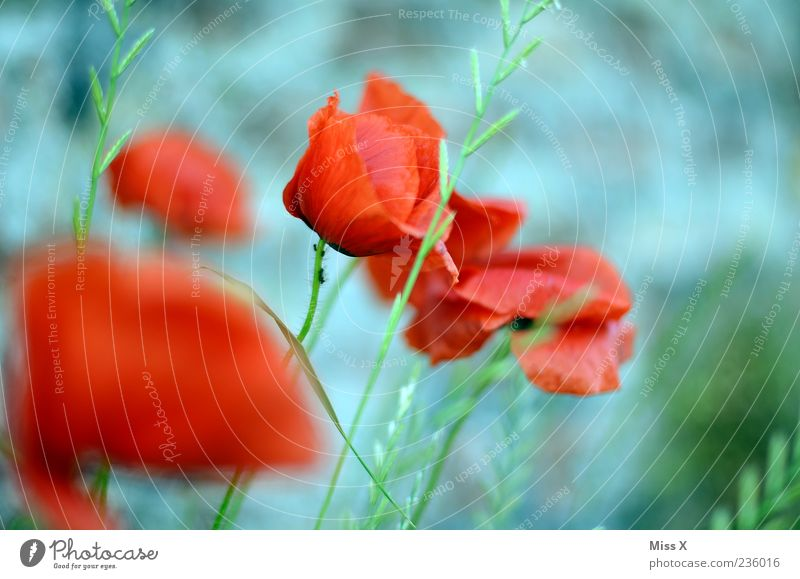 Poppy seed with ant Nature Plant Spring Summer Flower Leaf Blossom Garden Meadow Blossoming Fragrance Faded Poppy blossom Poppy field Grass Red Colour photo