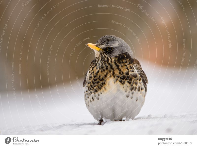 Juniper Thrush in the snow Environment Nature Animal Spring Autumn Winter Climate Weather Beautiful weather Ice Frost Snow Garden Park Meadow Field Forest