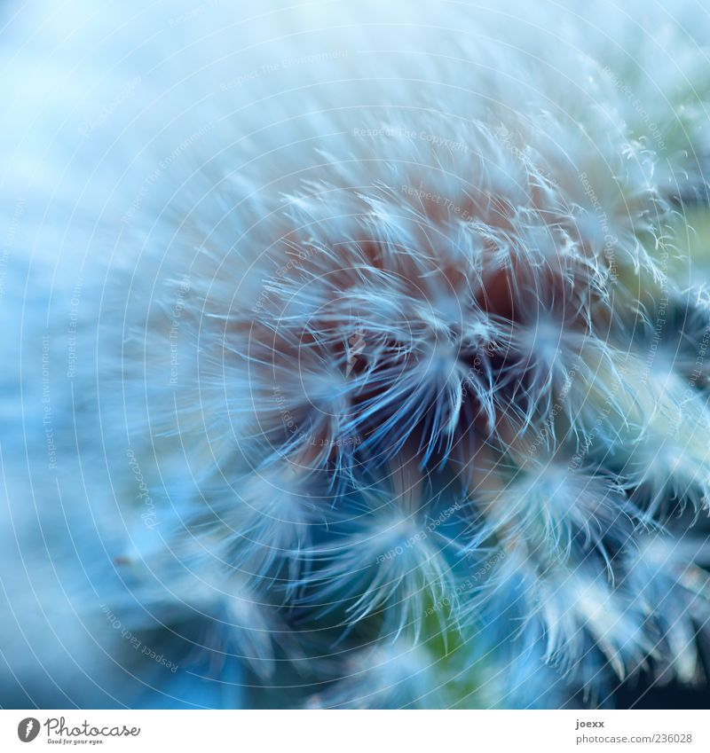 Nature Blue White Green Plant Soft Dandelion Copy Space Wild plant Macro (Extreme close-up)