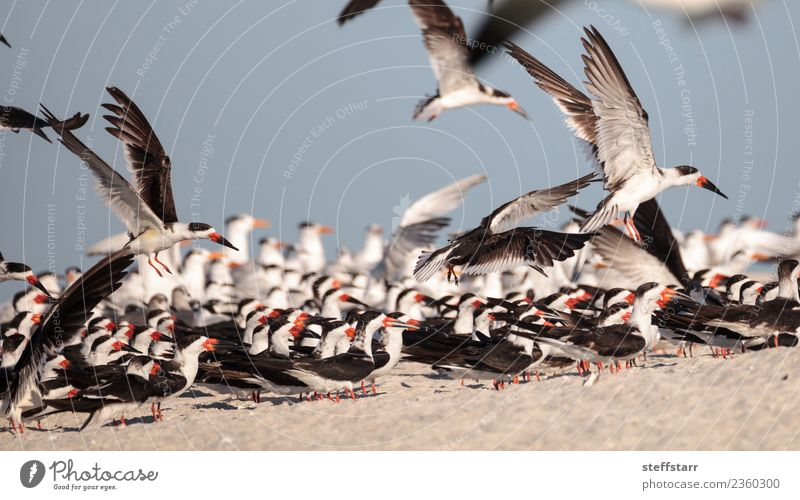 Flock of black skimmer terns Rynchops niger Beach Ocean Nature Sand Virgin forest Coast Animal Wild animal Bird Flying Red Black White Terns Sea bird Naples