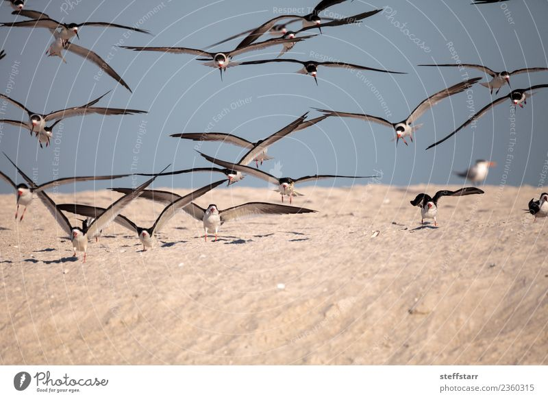 Flock of black skimmer terns Rynchops niger Nature Blue White Ocean Red Animal Beach Black Coast Bird Sand Flying Wild animal USA Seagull Virgin forest