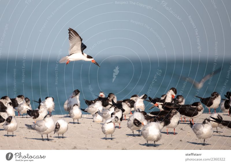 Flock of black skimmer terns Rynchops niger Beach Ocean Nature Sand Virgin forest Coast Animal Wild animal Bird Flying Blue Red Black White Terns Sea bird