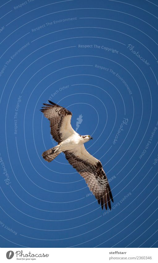 Osprey bird of prey Pandion haliaetus flying Beach Ocean Nature Sand Virgin forest Coast Animal Wild animal Bird 1 Flying Blue Brown White Sea bird sea hawk