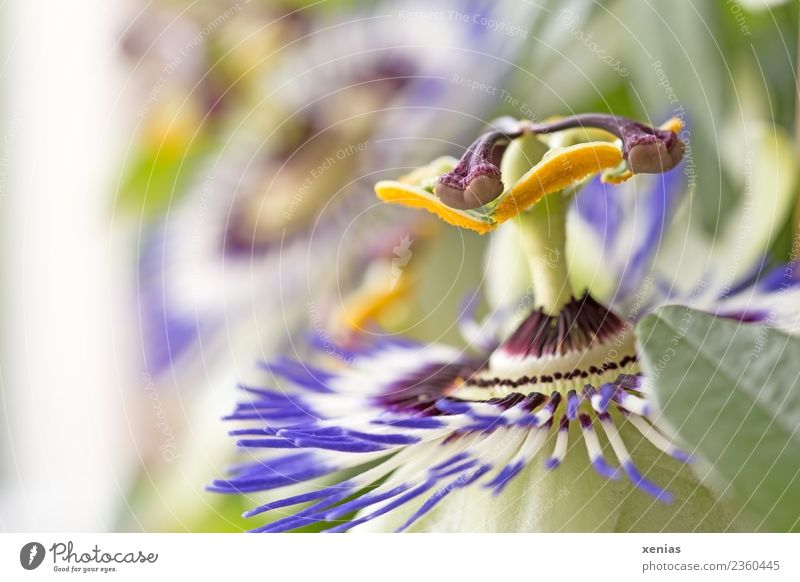 Green Flower Yellow Blossom Blossoming Violet Blossom leave Stamen Creeper Passion flower