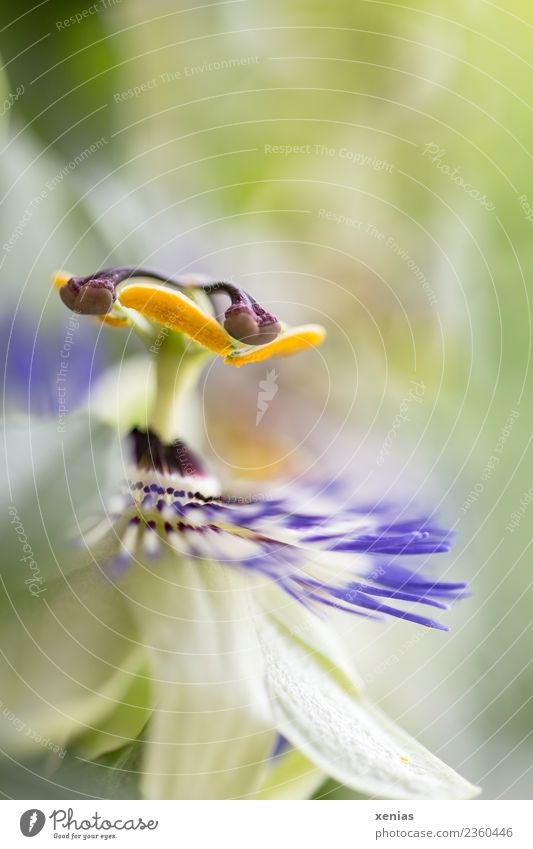 Macro photograph of a passion flower with shallow depth of field flowers bleed Passion flower Yellow green Violet Studio shot Close-up Detail Copy Space top