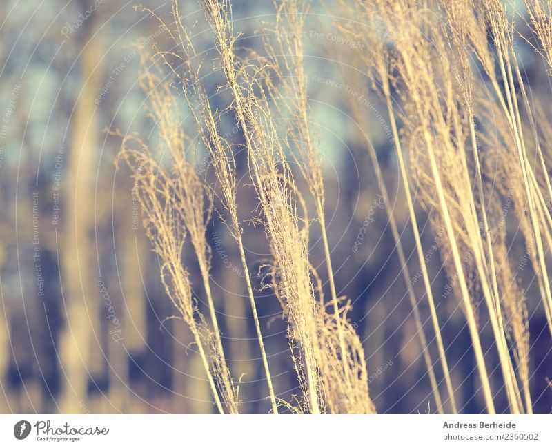 Pampas grass detail view Summer Nature Plant Wind Park Cold Yellow selloana cortaderia natural beautiful light flower leaf environment botany feather field