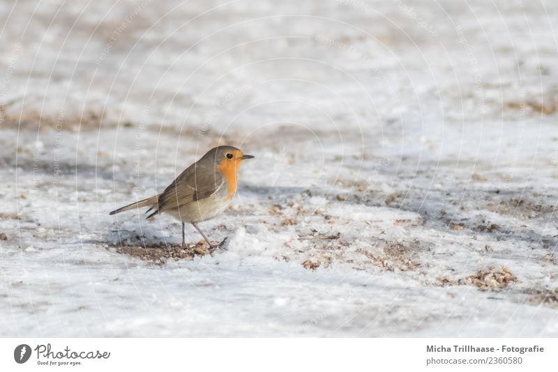 Running robin in the snow Nature Animal Sand Sun Winter Beautiful weather Snow Wild animal Bird Animal face Wing Claw Robin redbreast Beak Feather 1 Going