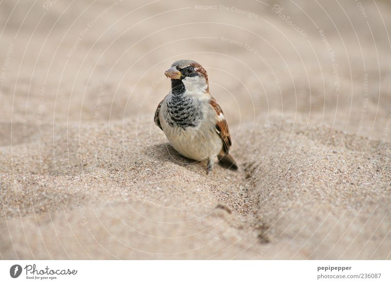 beeping bug Environment Nature Sand Summer Coast Beach Animal Farm animal Bird Animal face Wing 1 Stand Brown Sparrow Colour photo Exterior shot Close-up Detail