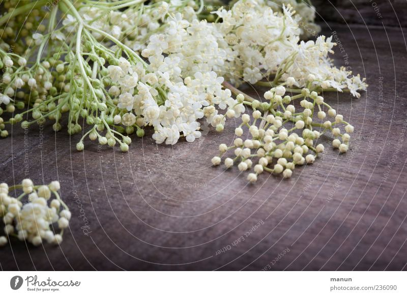 White Plant Blossom Spring Healthy Fresh Authentic Lie Natural Fragrance Elderflower