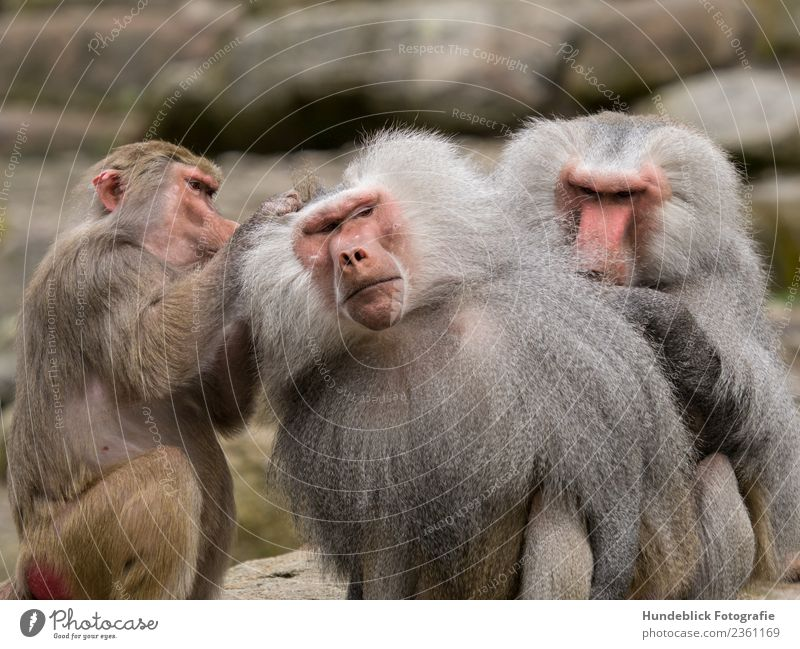 Baboon Pacha Animal Wild animal Animal face Pelt Zoo Monkeys 3 Group of animals Pack Serene Patient Calm delouse Colour photo Exterior shot Day Light Blur