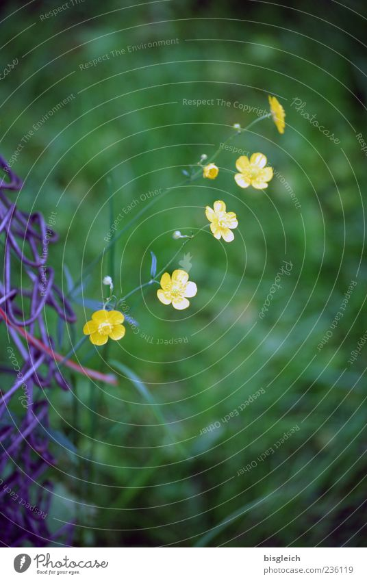 Flower Green Yellow Blossom Small Blossoming Row Fence Smooth Graceful Garden fence Crowfoot
