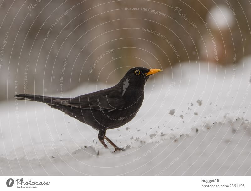 Blackbird in the snow Environment Nature Animal Spring Autumn Winter Climate Weather Beautiful weather Ice Frost Snow Snowfall Garden Park Meadow Forest